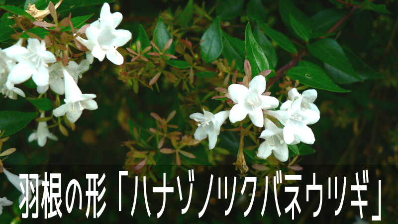 茶色の萼が羽根つきの羽根の形の「ハナゾノツクバネウツギ」のお花畑