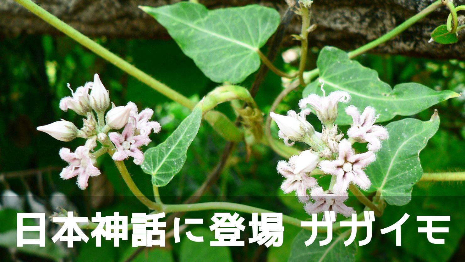 神話に実が登場するお花ですが、あんまり知られていない「ガガイモ」